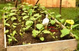 3. I am experimenting on intercropping eggplants with radish, except that, that chicken shouldn't be there; you see, it has stepped over two radish plants in one pose. Grrrr!