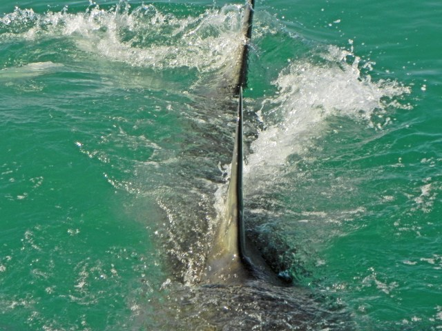 Great White Shark viewing, while in the water in Gansbaai, South Africa..