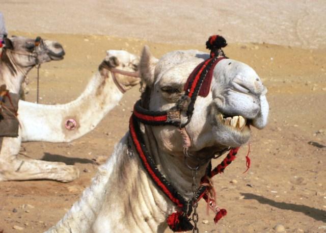 A.Camel.Egypt