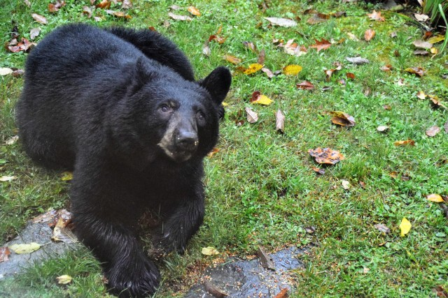 NC.Bear.DSC_0047