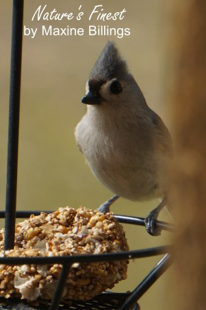 BIRD (TITMOUSE) 18 (NF)