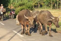 Water buffalos crossing the road