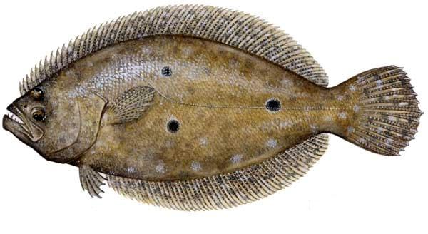 Gulf-Flounder1.jpg