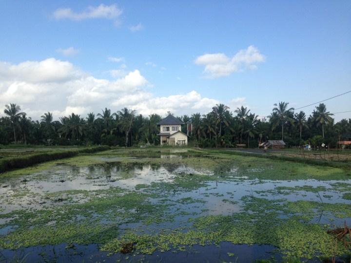 В рисовых полях можно найти и жилье для аренды. Например, Buddha-house.
