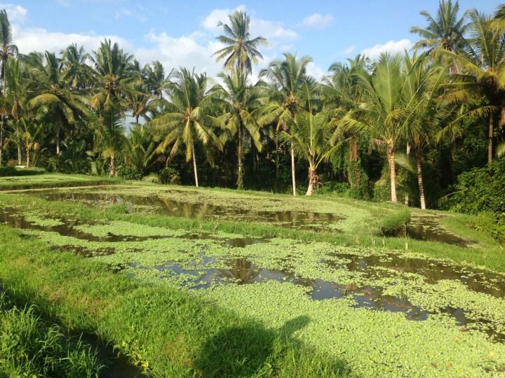 rice-fields-ubud-bali-06