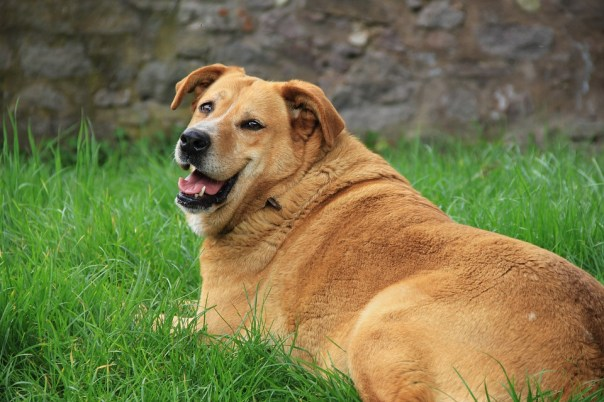 Golden Retriever, Dog, Grass, Smile, Green, Fat