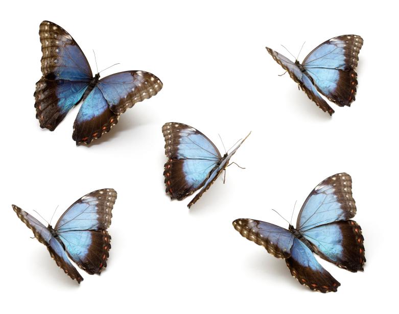group of blue butterflies