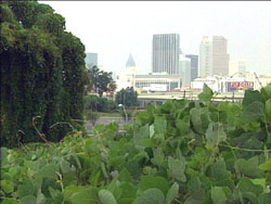 Kudzu in downtown Atlanta