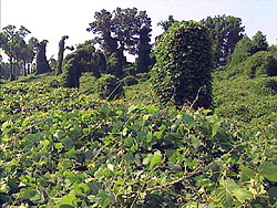 Kudzu covered field and trees