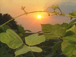 Sunset over kudzu