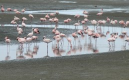 Flamingoes, Walvis Bay