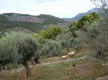 02 P1020372 soller oliveraie moutons