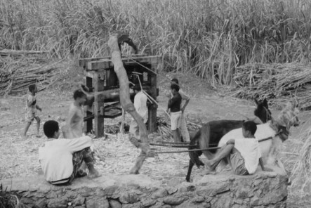 Santo-Antao pressing Canas 1993