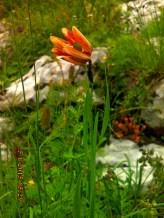 IMG_1390 Fritillaria messanensis
