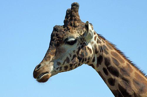 élégante girafe