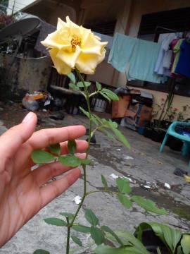 Mawar Hibrida Kuning