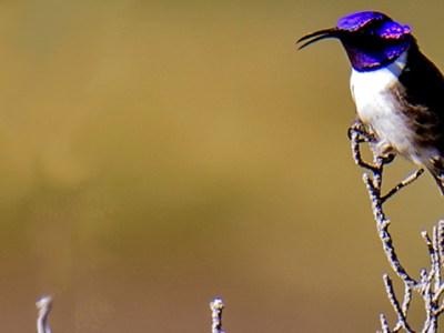 colibrí estrellita ecuatoriana