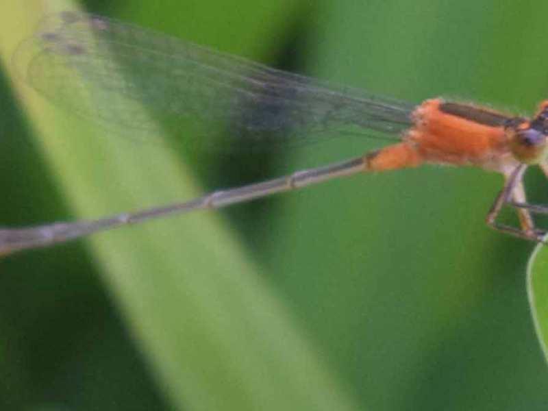 libélula, derechos de autor Aline Torres
