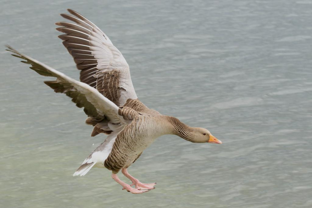A goose flying over the water