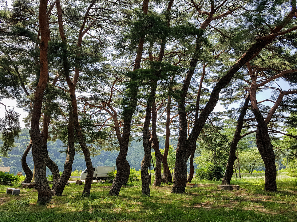 Elegant Pine Forest_Baekunjeong Recreation Area