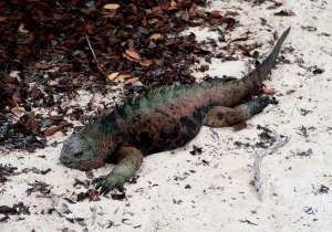 Iguana marina perteneciente a las islas Galápagos