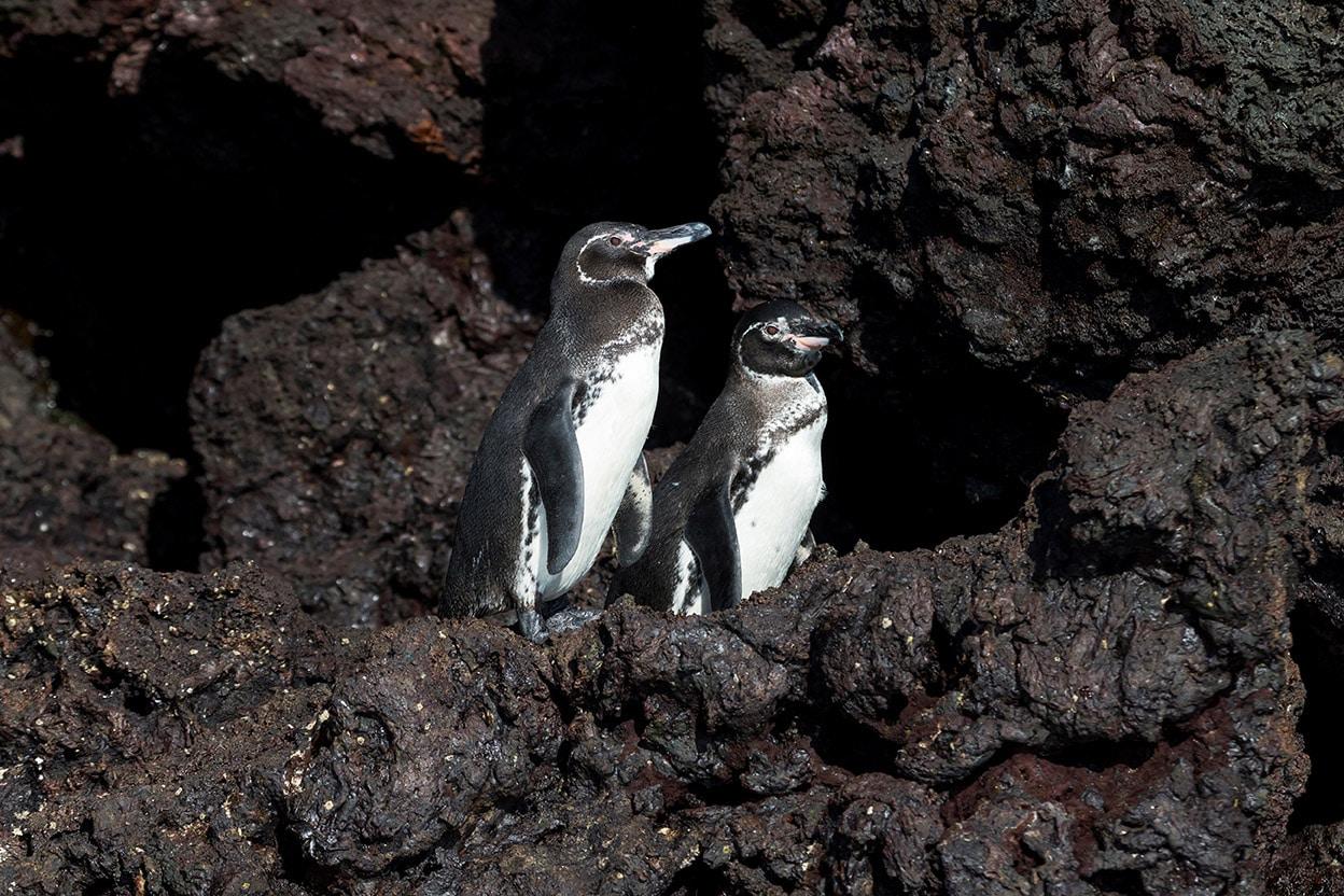 pinguino de galapagos