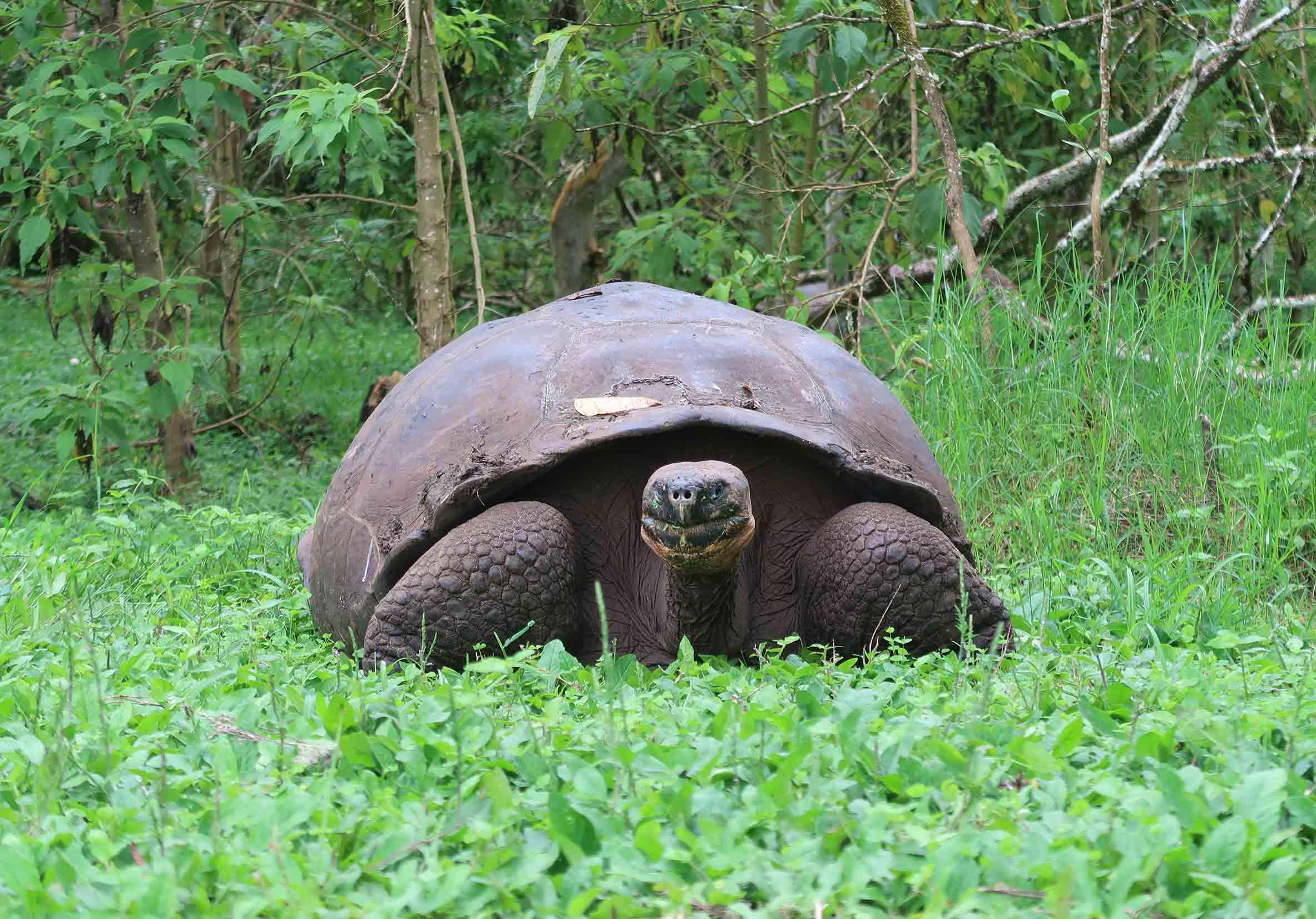 Tortuga gigante de Galápagos