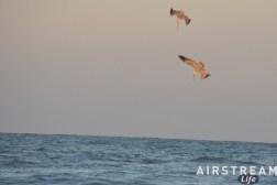 padre-island-pelicans-diving.jpg