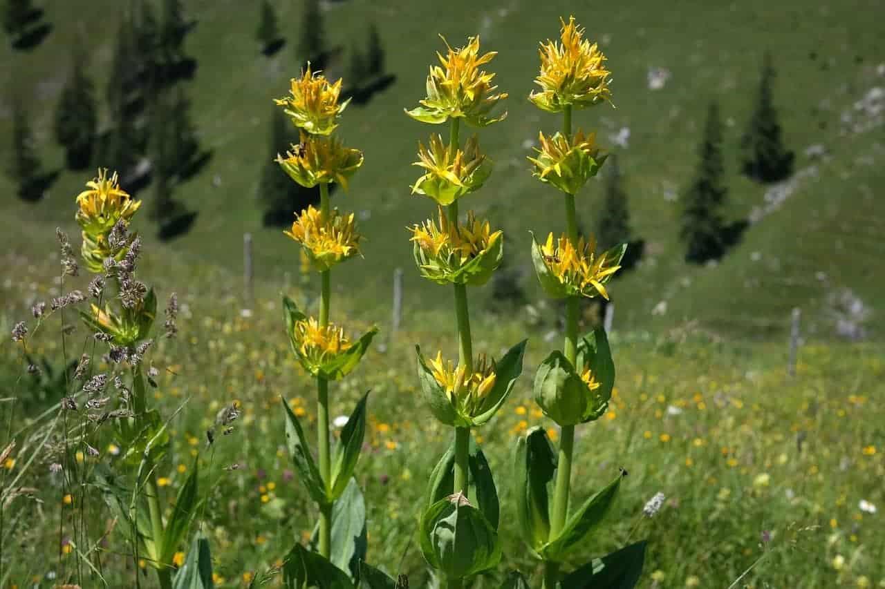 Mazot De Vex Gentiane Fleur
