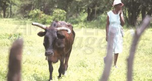 CATTLE-BEING-SOLD