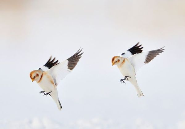 Snow buntings without snow: Specialists in a warming world