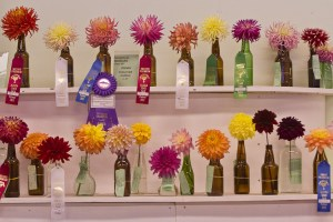 Vases of Dahlias for Judging at a Competition