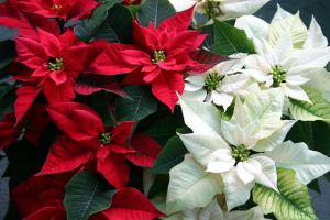 Poinsettias - Poinsettia fundraiser Kansas City Maranatha Christian Academy