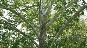 american sycamore, tree, organic