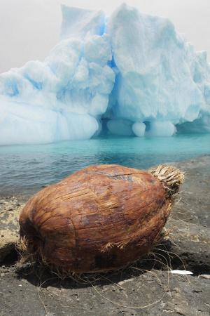 iceberg coconut