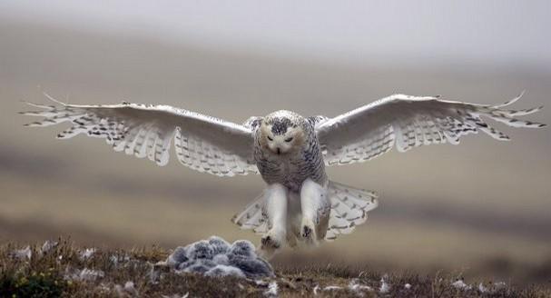 A snowy owl, Paul L. Bannick