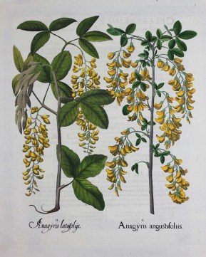 Laburnum; Alpine Laburnum, 1613, Basilius Besler, Hand-colored copperplate engraving, from Hortus Eystettensis (Nuremberg, 1st edition) Plate 8, Gift of Jeffery M. Leving 2017.2.3
