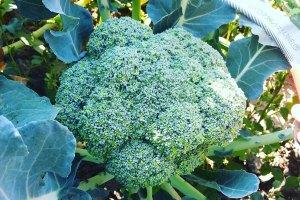 McCollum CSA Broccoli