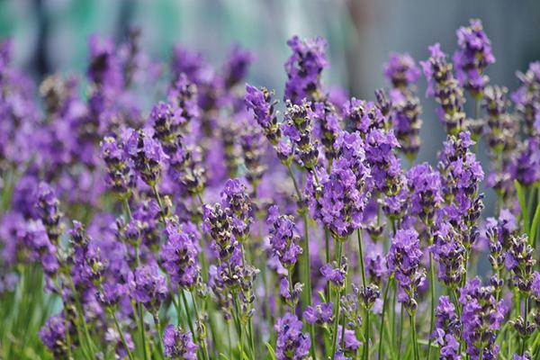 McCollum CSA Lavender
