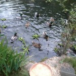 My duck story…….after they flew!!         and here they are BACK!!!