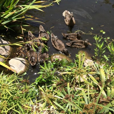 A sad pond story with a happy ending for some ducks!