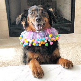 Meeka, Montgomery County Counseling's therapy dog who provides comfort for all at during counseling in Rockville, MD and online therapy in Maryland, Virginia, and Washington DC