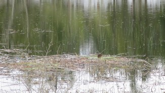 Really is a beaver in this picture. We saw it move.