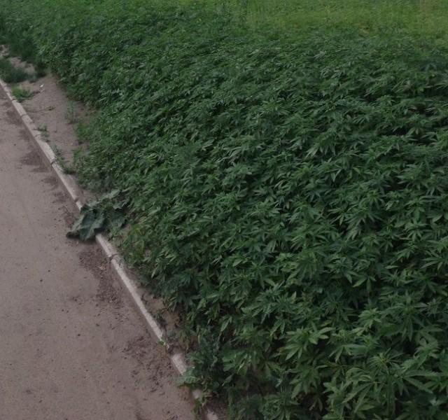 La mairie de Moscou se trompe de graine et plante du cannabis partout dans la ville