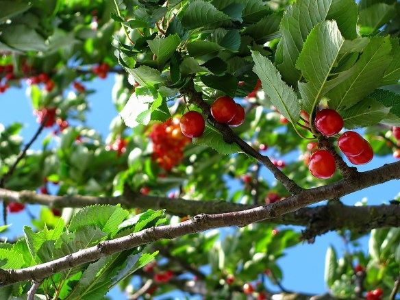 A photograph of barely-red just-ripe cherries on tree branches