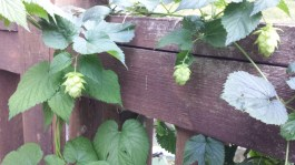 Hops are hopping!