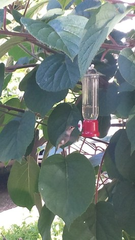Female Anna's hummingbird at the feeder. I've been enjoying this so much.