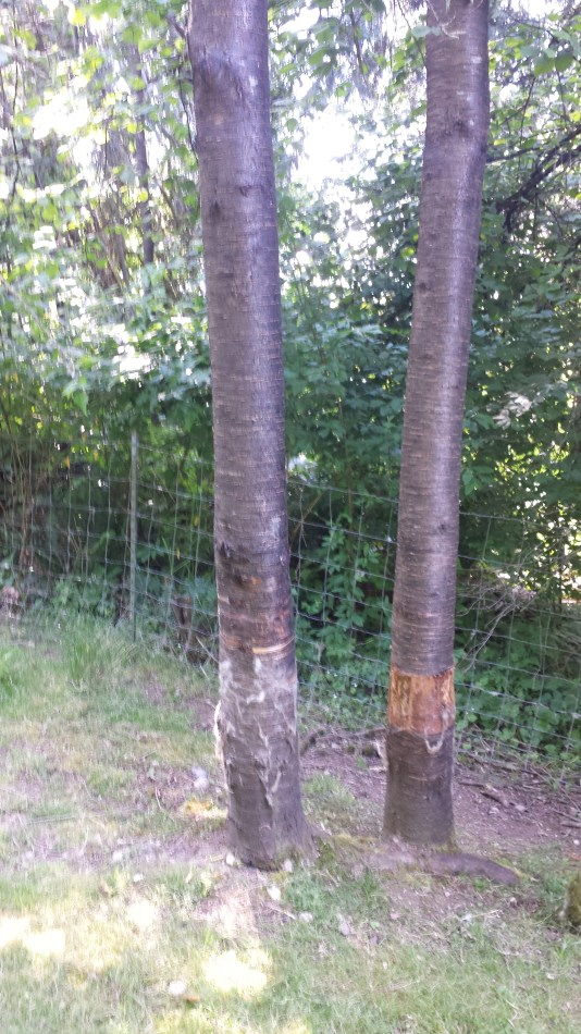 If they aren't rubbing on it, they're eating it. Two wild cherry trees (too lazy to look up genus).