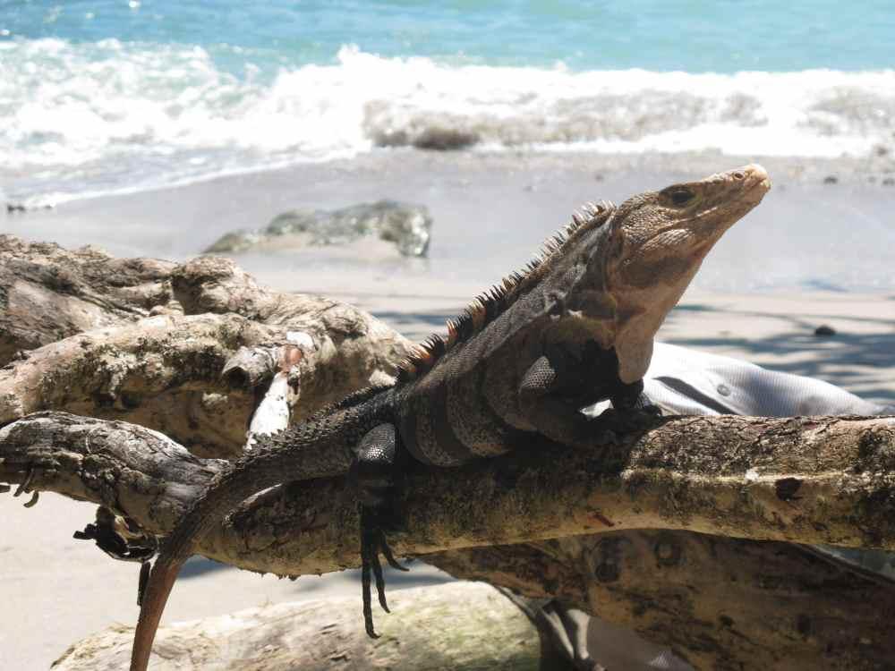 Lézard sur la plage du parc Manuel Antonio au Costa Rica