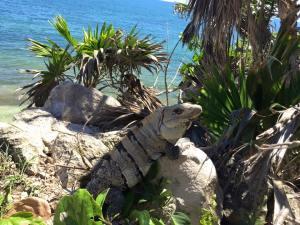 Lézard Mexique Yucatan